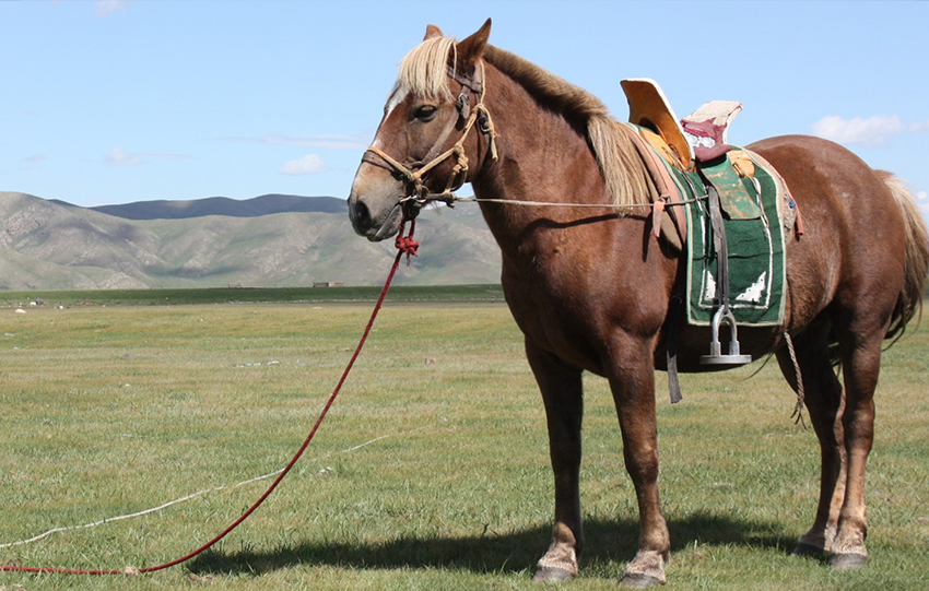 Cheval de Mongolie
